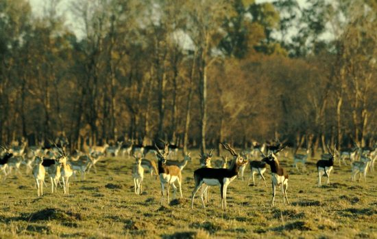 Black Buck Hunting